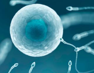 Egg and sperm fertilization